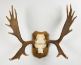 Stort elggevir, Canada, jagttrofæ