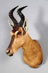 Afrikansk jagttrofæ af skuldermontert Red Hartebeast