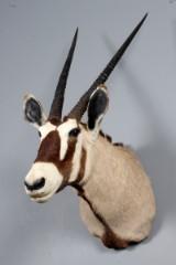 Sydafrikansk jagttrofæ. Skuldermonteret Oryx (Oryx gazella)