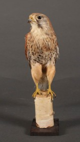 Udstoppet tårnfalk (Falco tinnunculus)