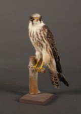 Udstoppet Lærkefalk (Falco subbuteo)