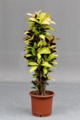 Stor stueplante Codiaeum Golden Sun ' Croton' , 30 cm. potte
