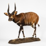 Bongo, præparat, helmonteret antilope på plint, Kenya