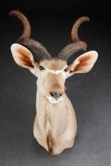 Greater Kudu. Skuldermonteret