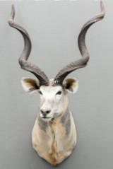 Jagttrofæ af skuldermonteret Kudu (3)