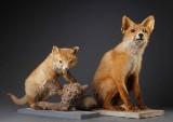 Udstoppet ræv samt rævehvalp