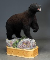 Coastal black Bear - Sort bjørn -  bjørnekranie (2)