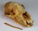 Schwarzbärenschädel und Penis des Ursus Americanus mit Zertifikat (2)