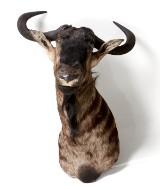 Black Wildebeest, jakttrofe