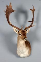 Jagttrofæ, skuldermonteret Dåhjort