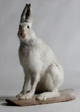 Hare i vinterdräkt