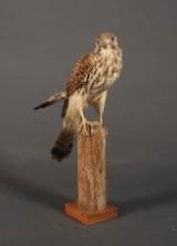 Udstoppet Tårnfalk (Falco tinnuculus)