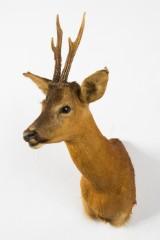 Jagttrofæ af en råbuk, hoved-skulder-montering