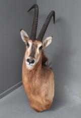 Jagttrofæ af skuldermonteret sabelantilope