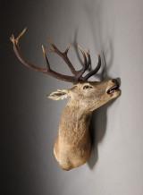 Hovedmonteret jagttrofæ, kronhjort
