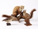 Udstoppet husmår, egern samt krikand (3)