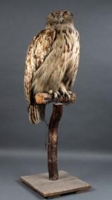 Stor europæisk hornugle (Bubo Bubo)