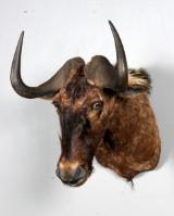 Jagttrofæ. Skuldermonteret Black Wilderbeast (gnu), jagttrofæ.