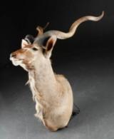 Skuldermonteret jagttrofæ, kudu antilope.