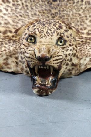 Leopardenfell mit Kopf, Indien, erste Hälfte 20.Jh. Cites | Lauritz.com