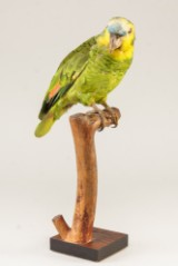 Blåpandet Amazonepapegøje (Amazona aestiva), udstoppet