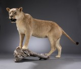 Hunting trophy. Taxidermy full mount female lion (Panthera Leo)