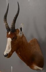 Skuldermonteret Blesbok / Blesbuck, jagttrofæ