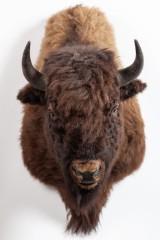 Trophäe / Jagdtrophäe / Präparat / Tierpräparat, Bison, Montana, 1997