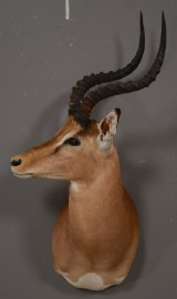 Skuldermonteret Impala Antilope, jagttrofæ