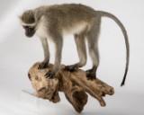 Marekat, Chlorocebus pygerythrus, dyrepræparat