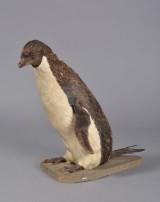 Pingvin, udstoppet, 1900-tallet