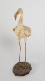 Flamingo, jagttrofæ/dermoplastik, fuldmonteret