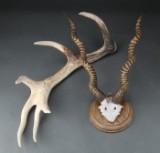 Skalmonteret antilope samt kastestang fra kronhjort (2)