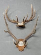 Kronhjortegevir, skalmonteret, jagttrofæer (2)