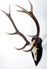 Kronhjort. Skalmonteret gevir, 10 ender, L. 86 cm