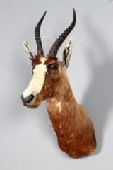 Afrikansk jagttrofæ, skuldermonteret Blesbok (Damaliscus pygargus phillipsi)