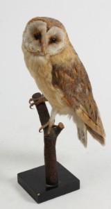 Udstoppet Slørugle (Tyto Alba)