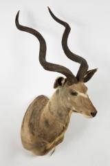 Jagttrofæ af en kudu, hoved-skulder-montering