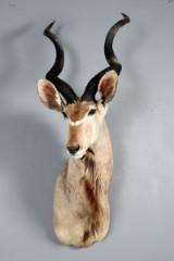Afrikansk jagttrofæ, skuldermonteret Kudu (Tragelaphus strepsiceros).