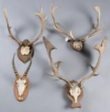 Skalmonteret jagttrofæer af Dåhjort samt Waterbok (4) 2