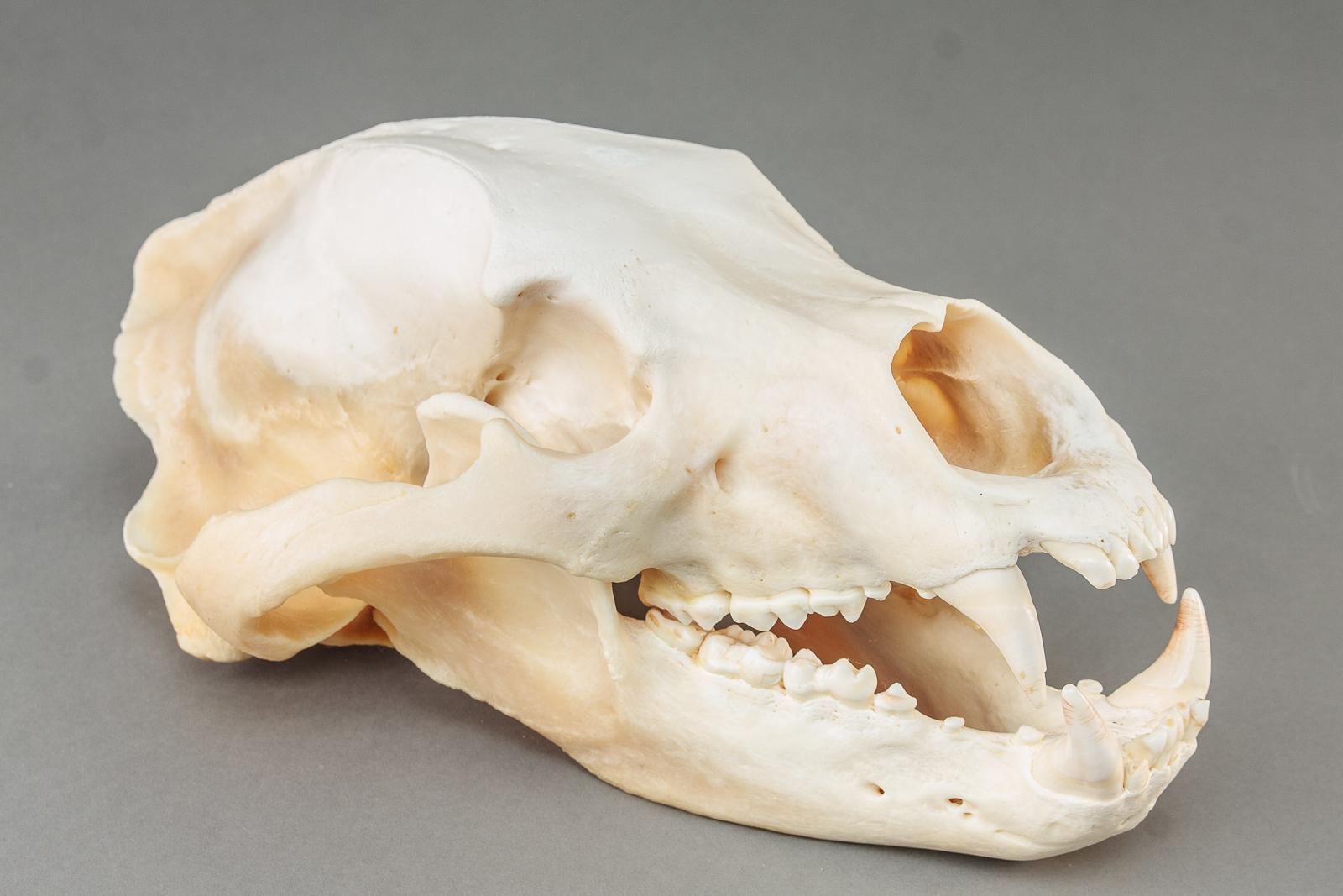 Kranie fra brunbjørn - Kranie fra brunbjørn L 38 cm