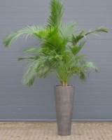 Palme i kolosalkrukke ca. 300-350 cm
