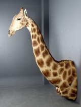 Hunting trophy. Taxidermy giraffe with shoulders mounted (Giraffa camelopardalis)