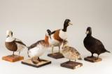 Udstoppede fugle (5)