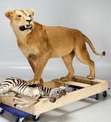 Uppstoppat lejon, hona, samt zebra