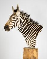 Zebra, jagttrofæ, dermoplastik, hoved-skulder-montering, Cites