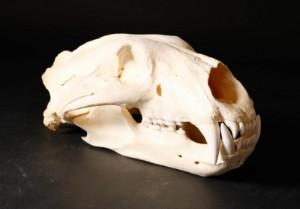 Isbjørne kranie med tænder - Dk, Aalborg, Nibevej  - Isbjørne kranie med tænder. L. 35 cm. H 15,5 cm Fremstår med flækket tand. Kan sælges uden Cites certifikat i Danmark. Ved udførelse fra Danmark bedes man rette henvendelse til Naturstyrelsen / Cites - Dk, Aalborg, Nibevej
