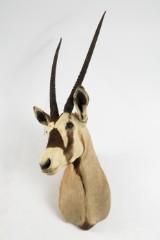 Oryxantilope, hoved-skulder-montering, jagttrofæ, præparat