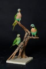 Skægparakitter  på træstamme.