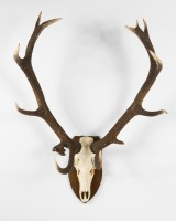 An animal skull, stag's antlers on trophy shield of wood, with medal